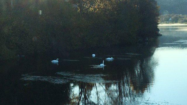 Vasspest i vatn på Bømlo